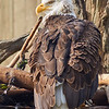 <h1>Bald Eagle</h1> <p>Vince Mullen is a photographer in Batavia, NY. See more of my <a>Animals at Convincedimaging.com</a></p>
