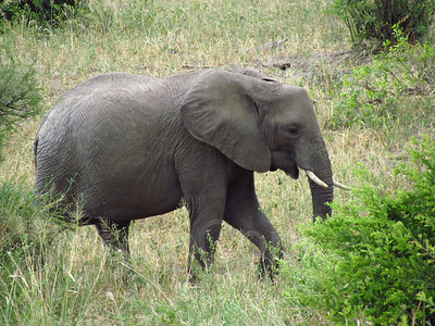 Baby elephant walking, Tarangire National Park, Tanzania, East Africa
