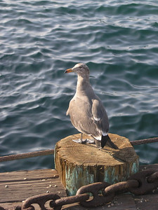 A seagull perched on a stump in San Diego, CA