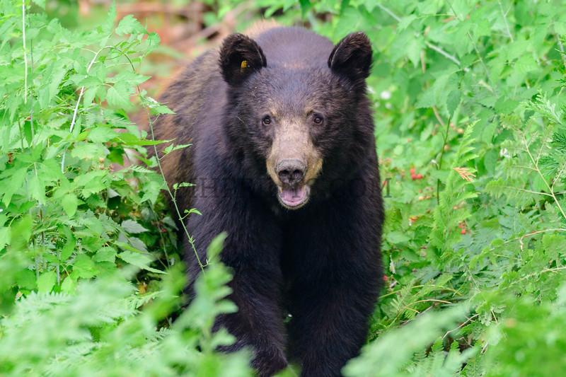 Black Bear Cub, Yosemite