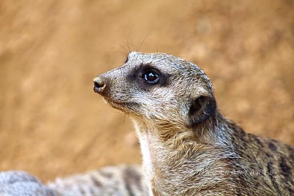 Pondering Meerkat