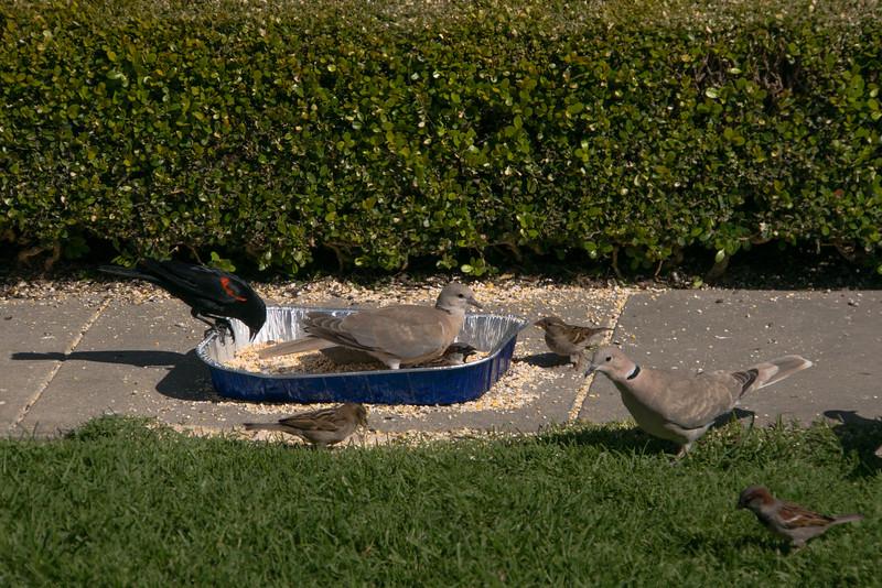 041115 Bird Feeder - Salinas 004 4x6L