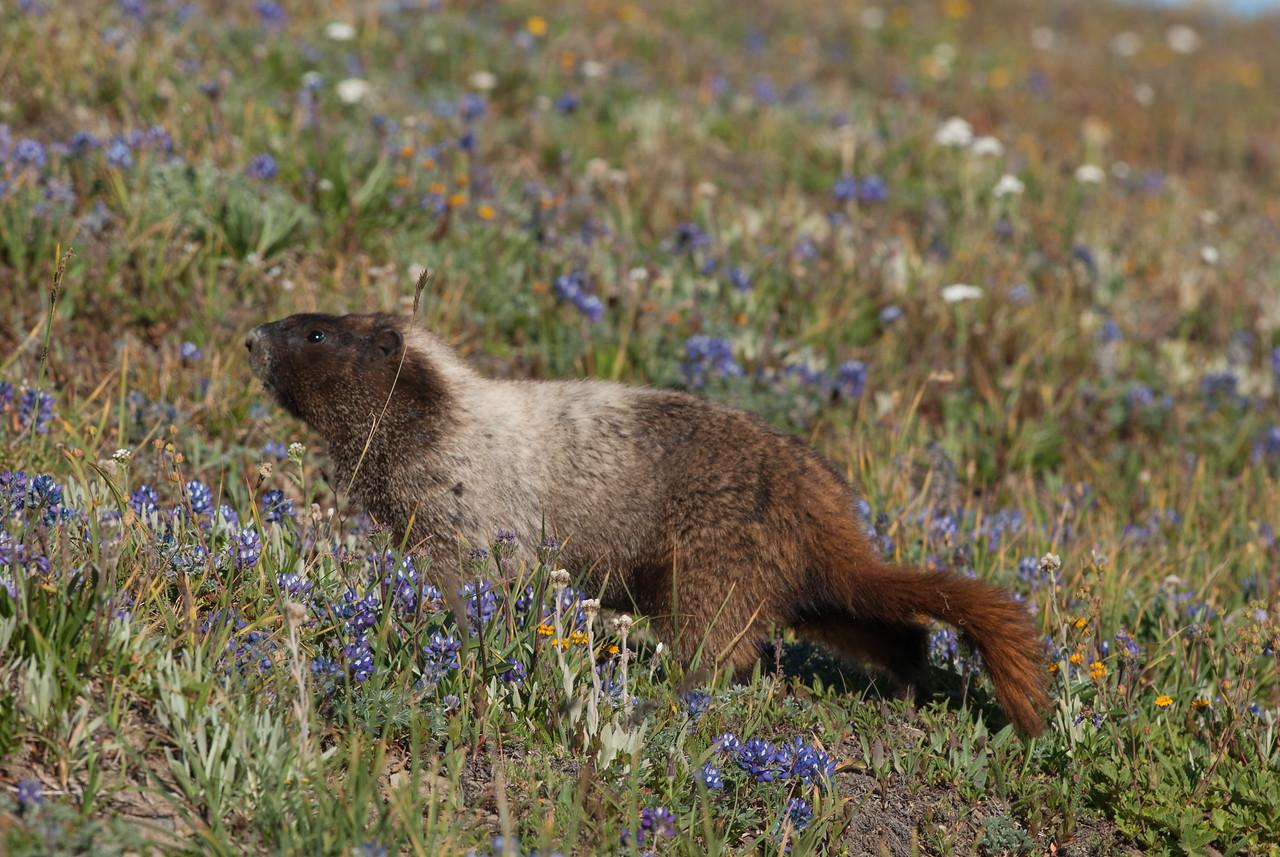 Hoary Marmot near Sunrise Park, Mt Rainier National park, Washington.