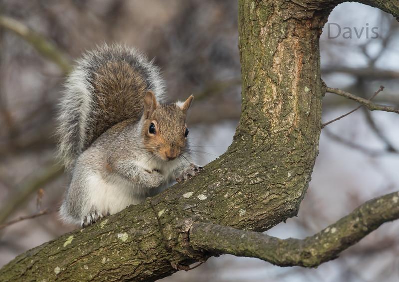 Grey Squirrel 6