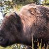 Bison Shaking off Rain