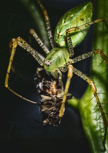 Lynx Spider eating a honey bee