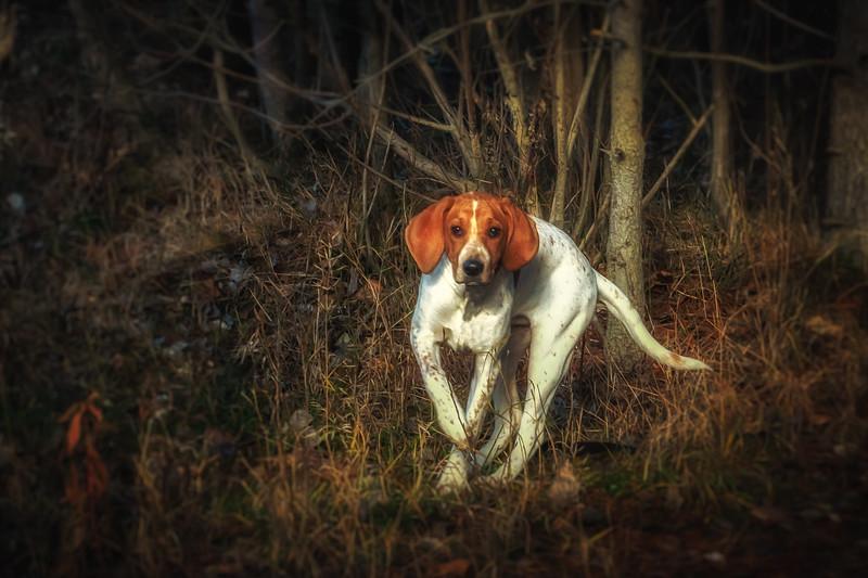 Redtick Coonhound Pup