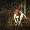 Redtick Coonhound Pup