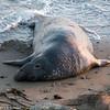 Elephant Seal at Pismo Beach