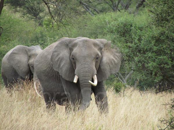 Elephant with tusks facing camera, Tarangire National Park, Tanzania, East Africa
