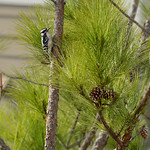 Bird, Downy Woodpecker on the pine tree branch.