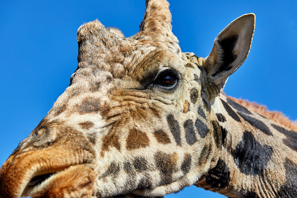 Close up of a Giraffe's Head