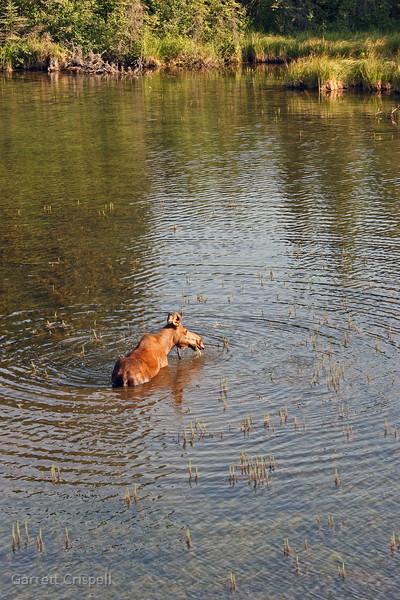 Moose Ripples