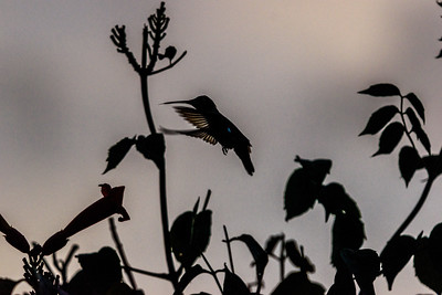 TexasHummingbirdSilhouetteInFlight
