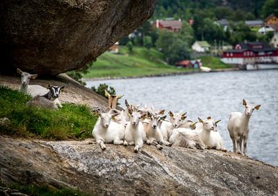 Goat Curiosity
