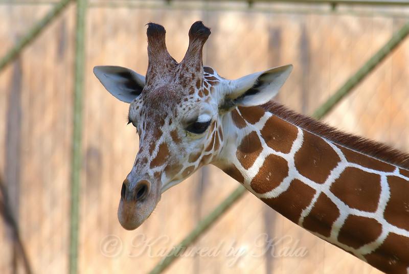 Giraffe FaceTime