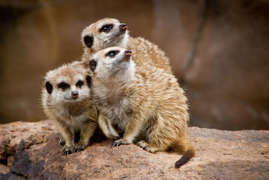 Meerkat Trio