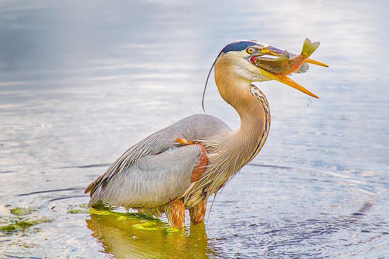 Got Food!!! - Blue Heron