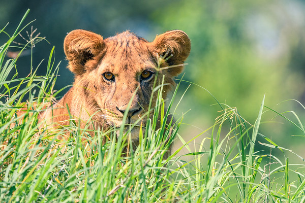Looking into the lion's eyes