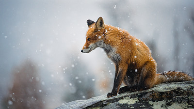 The Fox of Norway