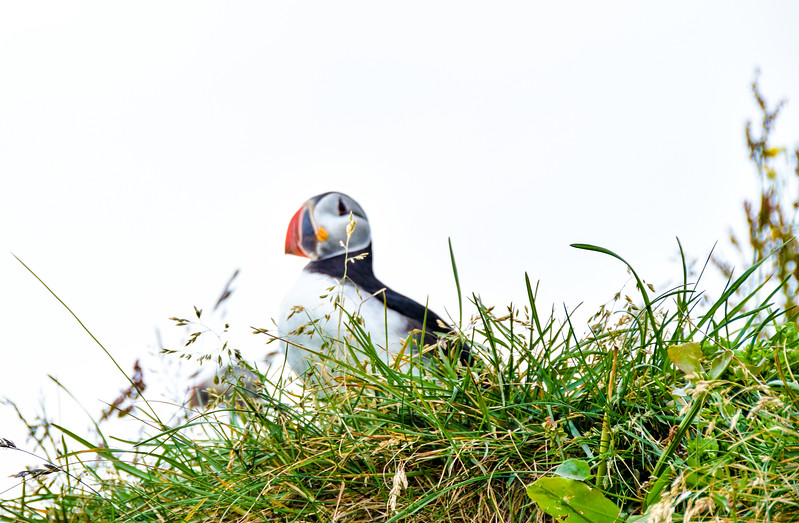 Blurred Puffin