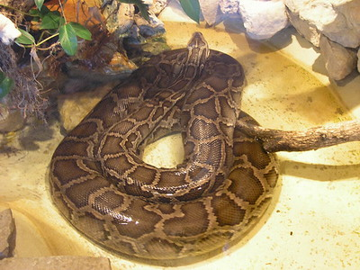 A large Boa at the Ft Worth Zoo
