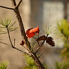 Beautiful bird Cardinal sitting on pine tree branch.