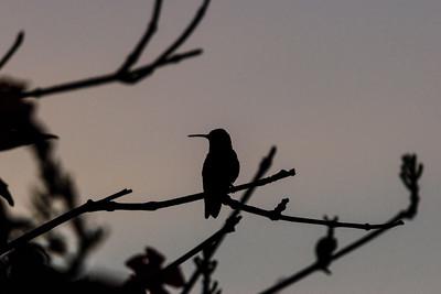 TexasHummingbirdSilhouette2