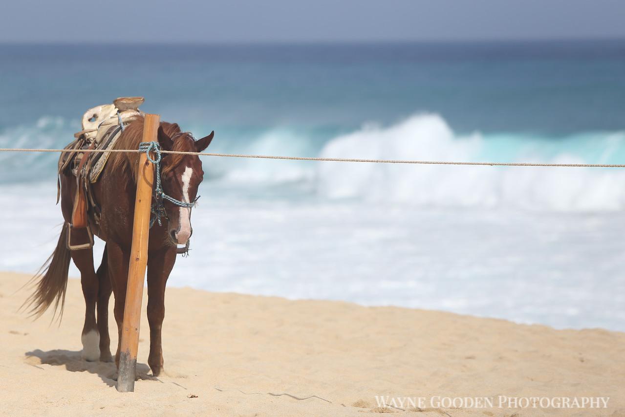 Cabo Horse