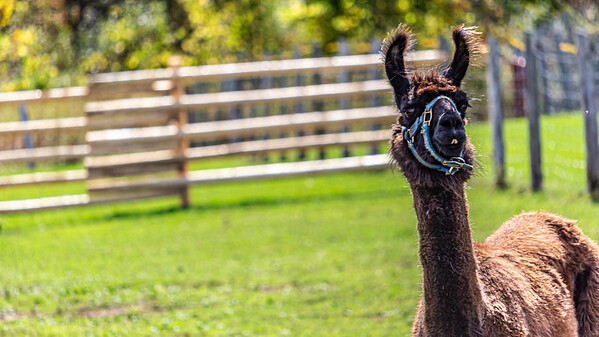 A Llama Stands in a Pen, Watching