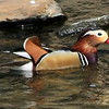 Chinese Mandarin Duck
