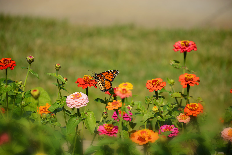 Monarch butterfly  on a beautiful flower.