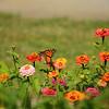 Monarch butterfly  on a beautiful flower.