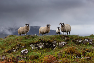 Scottish Black-faced Sheep, Isle of Mull