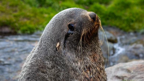 Fur seal, Ocean Harbor, South Georgia