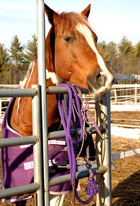 Horse looking over a fence with purple rope