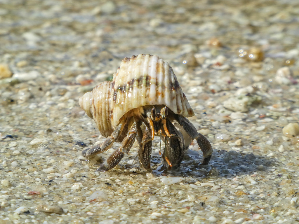 Hermit crab out for a walk