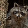 Raccoon Waving