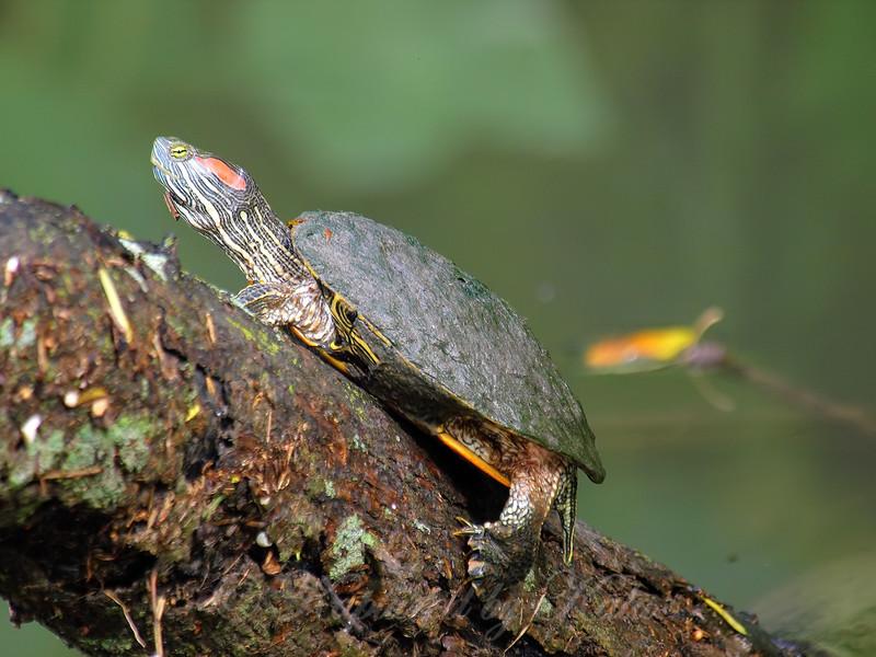 Tree Turtle