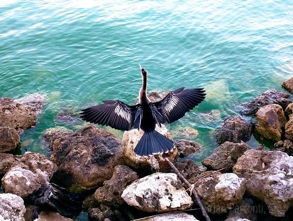 Anhinga - Davis Islands, Tampa, Florida
