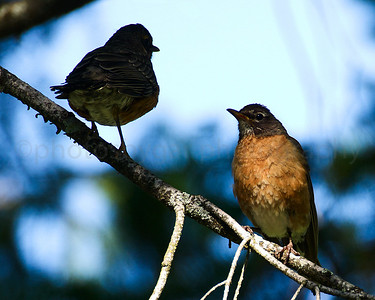 Robin Mom and Offspring