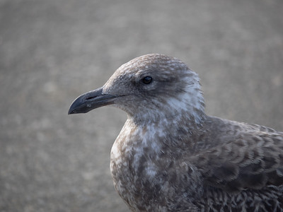 Axe-Beak