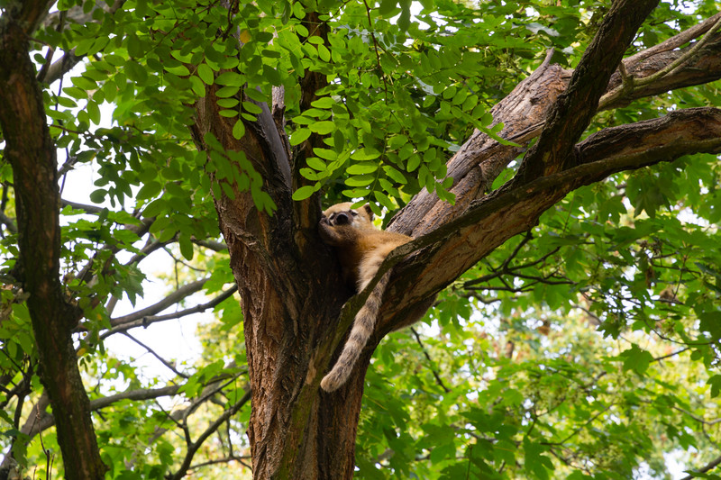 Lazy Coati