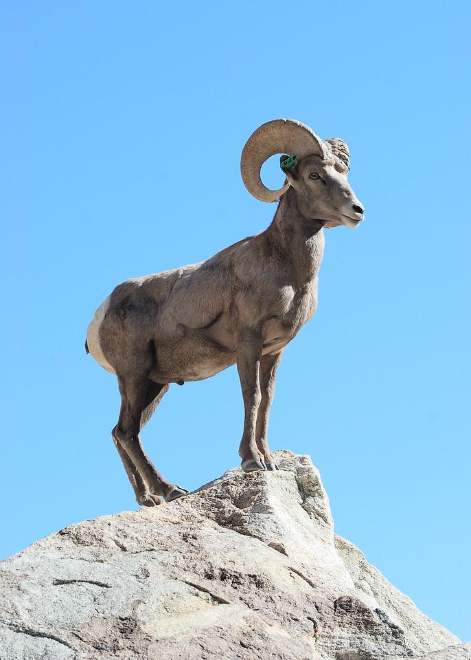 Desert Bighorn Sheep - Borego Palm Canyon