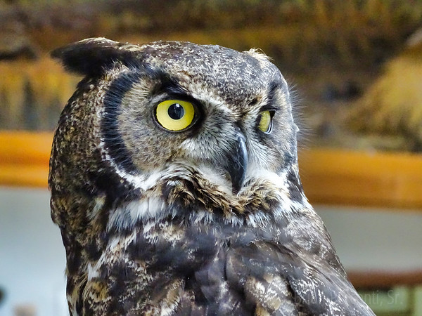 Great Horned Owl, Haines, Alaska