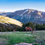 Beautiful  bull elk with  on early summer evening. Rocky Mountain National Park, Colorado, USA