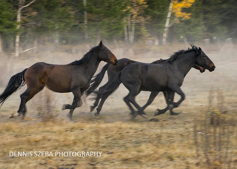 Montana horses in the dust. 2018
