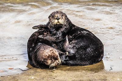 Sea Otter Play