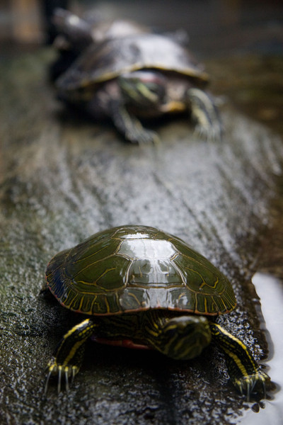 Turtles on a Branch