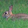 Backyard Bunny!